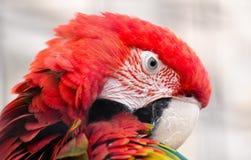 macaw Verde-voado (chloropterus do Ara) Imagem de Stock Royalty Free
