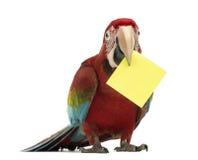 Macaw Verde-voado, chloropterus do Ara, bebê de um ano, guardarando um cartão amarelo em seu bico, um post-it Imagens de Stock Royalty Free