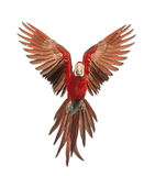 Macaw Verde-voado, chloropterus do Ara, bebê de um ano, voando Imagem de Stock