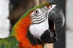Macaw verde y anaranjado Fotos de archivo