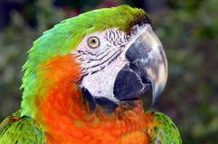 Macaw verde y anaranjado Foto de archivo