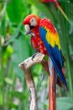 Macaw vermelho grande Foto de Stock Royalty Free
