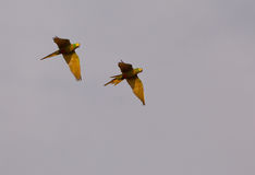 Macaw Vermelho-inchado no vôo Imagens de Stock