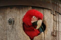 Macaw vert d'aile dans le baril Image stock