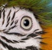 macaw vicino s dell'occhio dell'azzurro su colore giallo Immagini Stock Libere da Diritti