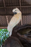 Macaw white bird in the cage,white Parrot Stock Images