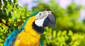 Macaw  in wildness area. Head of Green-winged macaw (Ara chloropterus) in wildness area Royalty Free Stock Image