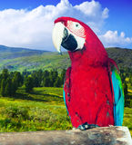 Macaw at wildness. Red-and-green Macaw (Ara chloropterus) at wildness Royalty Free Stock Photography
