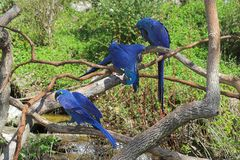Macaw y amigos del jacinto Imagen de archivo libre de regalías