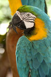 Macaw. A yellow and blue macaw Royalty Free Stock Images
