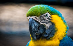 Macaw. Yellow blue and green old macaw Royalty Free Stock Photos
