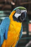 Macawfågel Fotografering för Bildbyråer