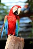 Macawfågel [den scharlakansröda macawen] Arkivfoton