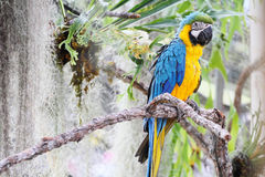 Macawfågel Arkivbild