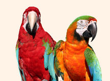 Macawpaare Lizenzfreie Stockfotos