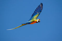Macawpapagei Lizenzfreies Stockbild