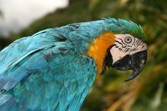 Macawpapagei stockbilder