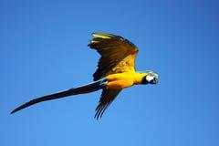 Macawpapagei im Flug lizenzfreies stockfoto