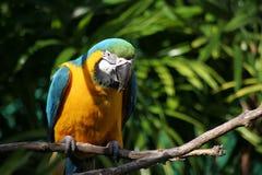 macawpapegoja Arkivfoton