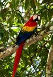 macawpapegoja Arkivbilder