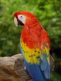 macawpapegoja Royaltyfria Foton