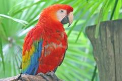 macawpapegoja Royaltyfri Foto