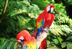 macawpapegoja Royaltyfri Fotografi