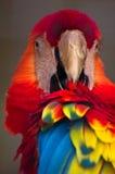 macawpotraitscharlakansrött Fotografering för Bildbyråer