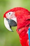 macawred Arkivbild