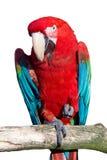 macawred Arkivfoto