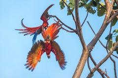 macaws ερυθρά δύο Στοκ Εικόνες