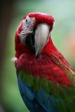 macaws ερυθρός Στοκ Φωτογραφίες