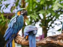 Macaws που κοιτάζει στην πλάτη Στοκ εικόνα με δικαίωμα ελεύθερης χρήσης