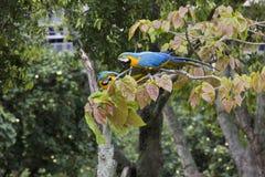 Macaws στο Ρίο ντε Τζανέιρο Στοκ Εικόνες