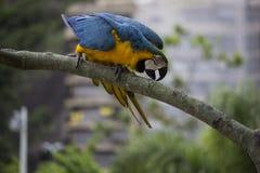 Macaws στο Ρίο ντε Τζανέιρο Στοκ Εικόνα