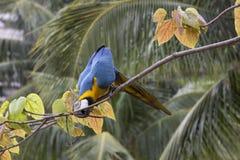 Macaws στο Ρίο ντε Τζανέιρο Στοκ φωτογραφία με δικαίωμα ελεύθερης χρήσης