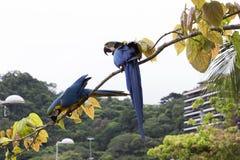 Macaws στο Ρίο ντε Τζανέιρο Στοκ Φωτογραφία