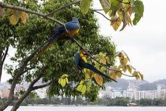 Macaws στο Ρίο ντε Τζανέιρο Στοκ Φωτογραφίες