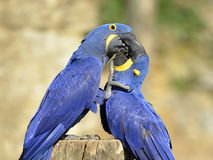 macaws 2 гиацинта Стоковые Фото