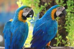 Macaws (голуб-желтый macaw) стоковое фото