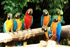Macaws попыгая группы Стоковые Изображения RF