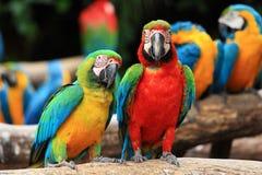 Macaws попыгая пар [macaw шарлаха, ararauna Ara] стоковые изображения