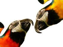 macaws Arkivbilder