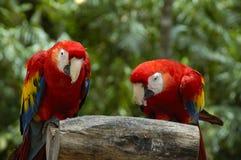 Macaws Fotografía de archivo