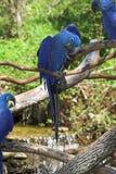 Macaws 2 del jacinto foto de archivo libre de regalías