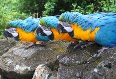 Macaws Royalty Free Stock Photo