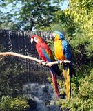 Macaws. A blue and yellow and a scarlett macaw standing in front of a waterfall Stock Images
