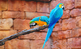 Macaws Photos stock