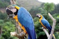 Macaws Lizenzfreies Stockbild