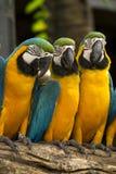 Macaws Fotografia Stock